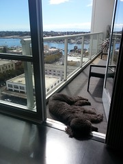 Napping al fresco. (tracy out west) Tags: petey standardpoodle thelittledoglaughed