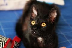 Otia (Gusanna) Tags: black yellow eyes kitty occhi ojos gata negra amarillos