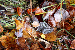 First coming of General Frost (grce) Tags: autumn fall nature grass leaves frozen leaf flora frost