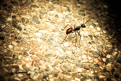 The Lone Ant (taufuuu) Tags: macro forest pavement ant small malaysia frim