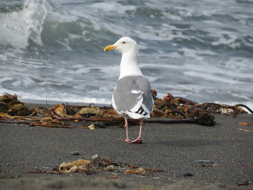 Western Gull (walking)