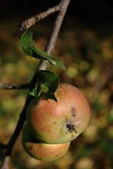 Harvest time (III) (dididumm) Tags: autumn fall apple sunshine garden herbst harvest apples garten apfel ernte sonnenschein harvesttime pfel erntezeit