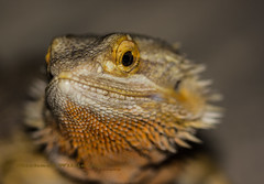 Bearded Dragon Lizzard thingy.... (Any Camera Will Do!!!) Tags: ex closeup dragon sigma os 105 lizzard bearded f28 dg 105mm michaelwilliams hsm 550d mwilliams michaelwilliamsphotography
