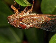 Periodical Cicada (side view) (Darts5) Tags: macro closeup bug cicada insect insects bugs upclose periodicalcicada insecteyes