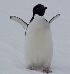 A clean Adelie Penguin (ericy202) Tags: penguin antarctica 2006 adelie wildpenguin