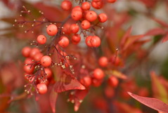 Seasons Greetings (The Spirit of the World) Tags: christmas winter plant nature berries landscaping southerncalifornia lantana christmascard redberries christmas2013 rememberthatmomentlevel1 rememberthatmomentlevel2 rememberthatmomentlevel3