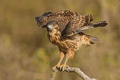 Aguilucho | Geranoaetus polyosoma (Daniel Sziklai G.) Tags: birds hawk aves pollo nido chie aguilucho redbacked