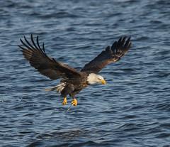 Eagle 15 (Jan Crites) Tags: winter bird river flying fishing nikon eagle zoom wildlife flight sigma iowa raptor mississippiriver soaring americanbaldeagle d600 leclaire lockanddam14 150500mm