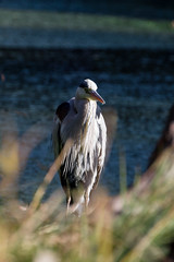 Grey Heron (Hibiya, Tokyo, Japan) (t-mizo) Tags: bird heron birds animal animals japan canon ardeacinerea  tamron hibiya lr  chiyodaku lightroom  ardeidae greyheron hibiyapark       lr4   eos60d lightroom4 tamron70300vc tamronsp70300mmf456divcusd tamronspaf70300mmf456divcusd tamron70300vcusd tamron70300mmvc