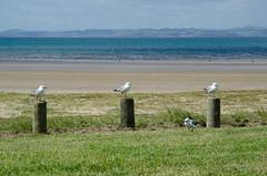 289/365 - Mr Grumpy (Spannarama) Tags: sea newzealand seagulls beach grass sand october gulls nz 365 northland posts doubtlessbay 2013 tokeraubeach