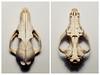 schedel tweeluik (GeertMania) Tags: schedel ldf moocard fotojg 201401 ldfblog