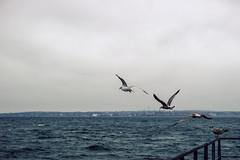 Principles of Flight (Aurelius Vox) Tags: seagulls birds day cloudy sweden sverige helsingborg resund