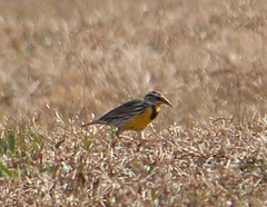 2014 01 20_0716_eastern meadowlark (nbc_2011) Tags: bird nature florida animalplanet planetearth easternmeadowlark meadowlarks northwestflorida