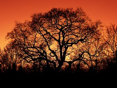 Tracery Two (Deepgreen2009) Tags: old sunset sky colour tree silhouette evening oak glow branches epsom tracery