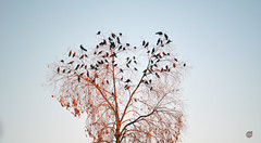 Parvada con los vecinos (alexgrod photos) Tags: sunset black birds yellow sonora mexico atardecer afternoon negro aves amarillo pajaros parvada navojoa chanates alexgrod alexfotos