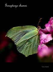 Gonepteryx rhamni (vitofonte) Tags: naturaleza nature butterfly insect natureza natura mariposa insecto gonepteryxrhamni commonbrimstone vitofonte mariposahoja vigilantphotographersunite vpu2 vpu3 vpu4 vpu5 vpu6 vpu7 vpu8 vpu9 vpu10