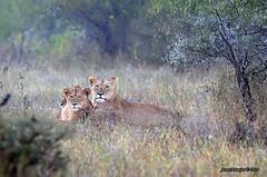 DSC_2391 (Arno Meintjes Wildlife) Tags: africa wallpaper nature southafrica wildlife lion safari bigcat predator krugerpark big5 pantheraleo arnomeintjes