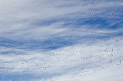 full of gees in the sky (SusanCK) Tags: geese snowgeese skagitvalleywashington susancksphoto