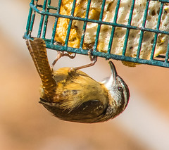Carolina Wren at the Suet Feeder (ScreaminScott) Tags: birds backyard carolinawren suetfeeder nikond7100 nikkormf300mmf45edif