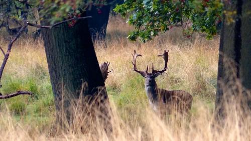 Dåvildt-Fallow deer-Dama dama
