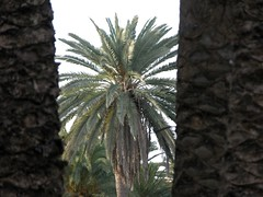 PALMERA CANARIA Phoenix Canariensis