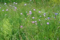 Wiese - Meadow (ivlys) Tags: flowers nature germany deutschland spring meadow wiese blumen dyke frühling deich altrhein ackerwitwenblume erfelden ivlys knauriaarvensis