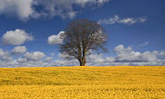 Tree, Oilseed, Cloud (wentloog) Tags: uk sky cloud tree green field yellow wales britain farm cymru cardiff caerdydd glamorgan lone lonely agriculture canola gwent oilseed wentloog stevegarrington michaelstoneyfedw goldenart fedw