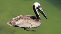 brown pelican (joybidge) Tags: pelican cabosanlucus cabosanlucasmexico naturepatternscanada trishcanada tsmay112014