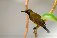 Olive-backed Sunbird (itsrbtime) Tags: bird nature birds nikon singapore birding olive tamron sunbird 70300 tamron70300 d90 olivebackedsunbird 70300f456 nikond90 70300vc rijubhattacharya itsrbtime tamron70300vc