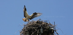 Osprey landing on the nest.