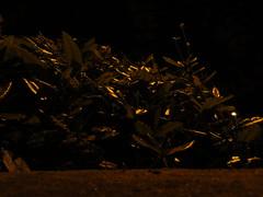 hedge gascoyne estate e9, gascoyne road entrance, at night, 2014-05-21, 23-30-35 (tributory) Tags: urban plants london texture nature leaves yellow shiny pattern gardening streetphotography foliage hedge urbannature vegetation housing environment innercity minimalism trimming twiggs soe eastlondon residents housingestate sociallandlord