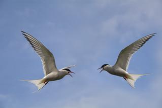 Arctic Terns ~ Explored