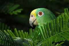 Amazona ochrocephala (Wilmer Quiceno) Tags: amazonaochrocephala yellowcrownedparrot amazona lora psittacidae medellin aves birds birding