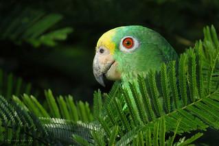 Amazona ochrocephala
