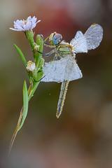 Imperlata (Raffaella Coreggioli ( fioregiallo)) Tags: natura insetti fioregiallo fiori libellule sympetrumfoscolombiifemmina margherite gocce nikon