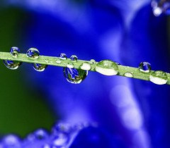 ...experience blue... (dawn.tranter) Tags: light leaf balance petals flower water droplets reflections macro experience blue dawntranter