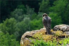 Peregrin falcon (www.speleophoto.fr) Tags: nature oiseaux cureuil chardonneret fauconplerin sittelle tarin