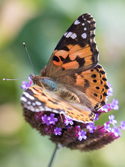 Butterfly (janeway1973) Tags: distelfalter vanessa cardui butterfly schmetterling insect insekt