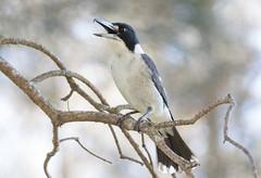 Grey Butcherbird (christinaportphotography) Tags: greybutcherbird cracticustorquatus butcherbird berkeleyvale centralcoast nsw australia bird birds wild free attack bokeh focus dof