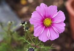 DSC_3203 (PeaTJay) Tags: nikond750 reading lowerearley berkshire macro micro closeups gardens outdoors nature flora fauna plants flowers