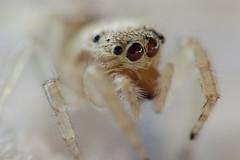 (marotta_alessandro) Tags: macro ingrandimento ragno spider occhi piccolo inverted lens