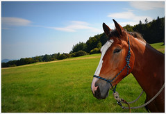 Bruno. (g.seifret) Tags: k horse pferd cheval caballo  lto sommer summer estate te verano gimp