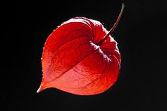 Light the Lantern (Evelyn Ford) Tags: chineselantern orange macromondays plant backlit macro ef100mmf28lmacroisusm canoneos5dmarkii physalis explored