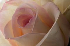 Backlit Rose (ertolima) Tags: macromondays backlit hmm backlight soft petals flower rose