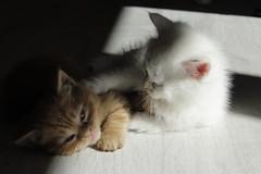 Prometo estar siempre a tu lado (NerePlum) Tags: bonito blanco cachorro cuki hermanos amor love