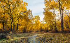 The Color Of The Season (John Westrock) Tags: autumn fall nature trees path morning sun autumncolors yakima washington pacificnorthwest canoneos5dmarkiii sigma35mmf14dghsmart