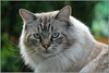 Aloof .... (Jan Gee) Tags: cats cat chat kat poes ragdoll gata gato gatto peeing problems inappropriate