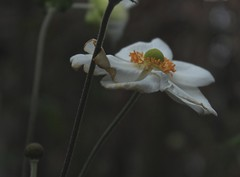 anmone (bulbocode909) Tags: fleurs nature jaune anmones