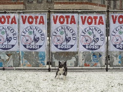 Dog defecates in front of populist party election posters. Milano, February 2010. (joelschalit) Tags: milano milan racism populism immigration diversity multiculturalism antiimmigrant leganord northernleague electionposters billboards advertising italy italia panasoniclumix