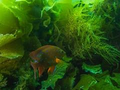 PA070531.jpg (Michael Bartosek) Tags: olympusepl3 catalinaisland olympus1442mm underwater catalina diving california pacificocean